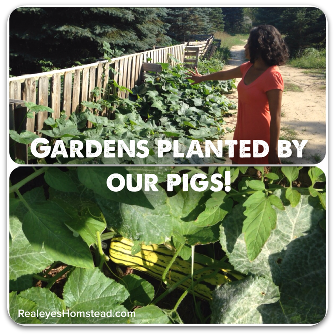 Spontaneous Gardens Planted by Our Pigs