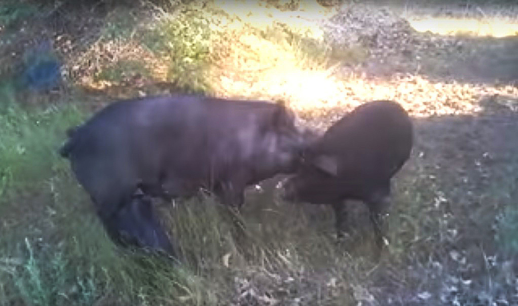 Pastured Pig Dueling / Dominance Fighting