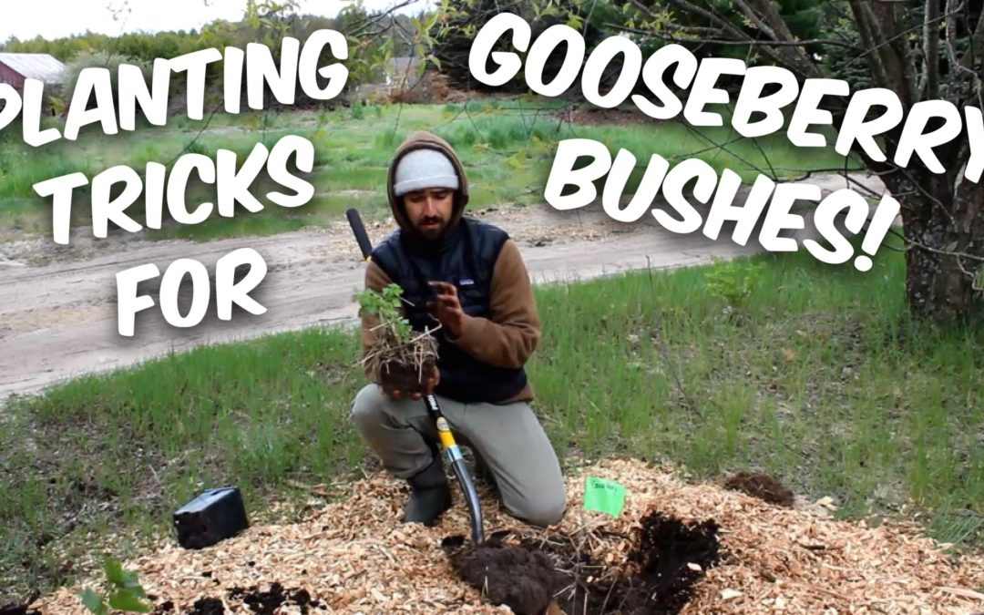 Clever Tricks for Planting and Propagating Gooseberry Bushes (and Currants) [Video]